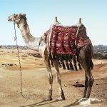Imagen de un camello