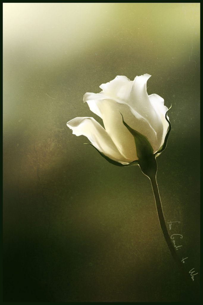 Dibujo de Rosa Blanca para Imprimir