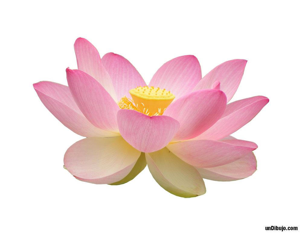 Flor de loto color rosa
